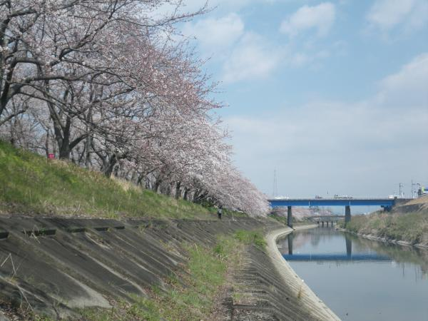 犀川堤の桜2
