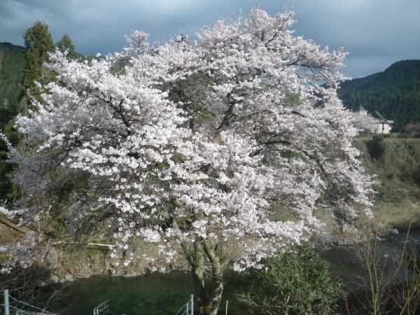 2019年我が家の桜