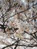 20190407 桜