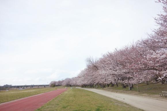宮川の桜2019-01