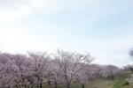 宮川の桜2019-02