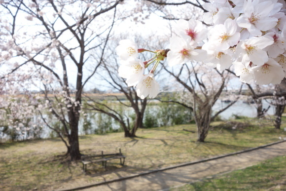 宮川の桜2019-03
