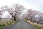 宮川の桜2019-04