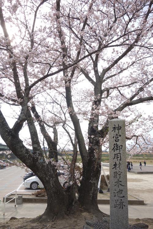 宮川の桜2019-06