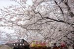 宮川の桜2019-07