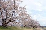 宮川の桜2019-09