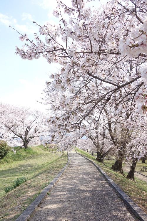 宮川の桜2019-11