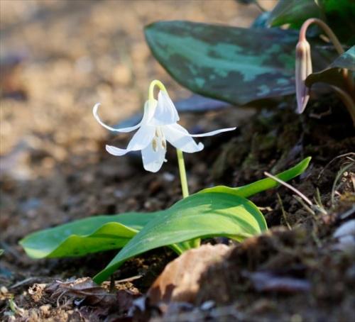 白カタクリの花2