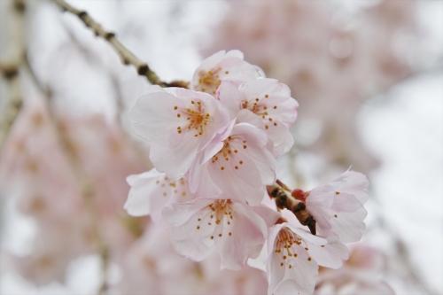 曇りの日の桜