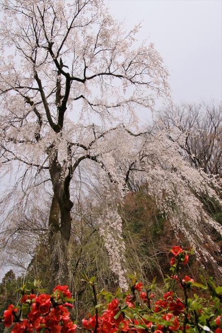 ボケの花と桜