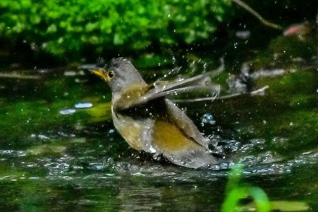 シロハラの水浴び