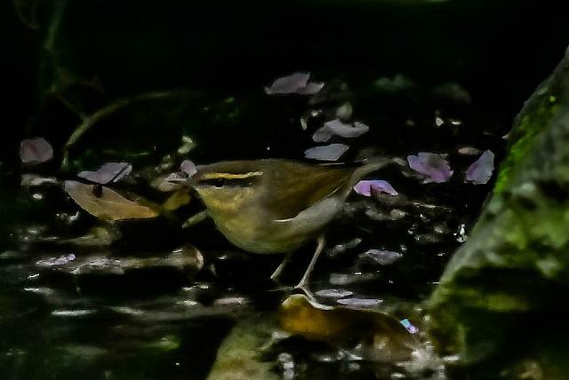 暗い水場で ヤブサメ