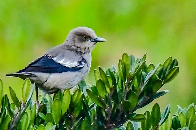 珍鳥 カラムクドリ