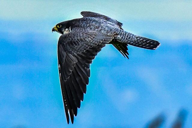 亜種オオハヤブサ 飛翔