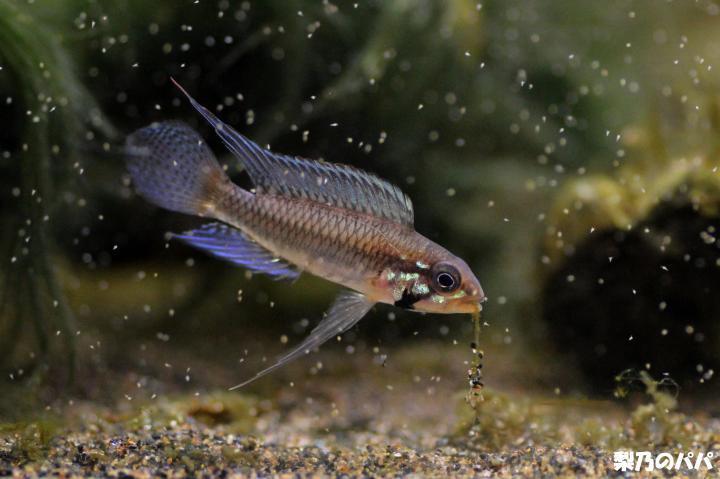 A.プサモピラ♂F1-1