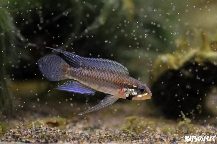 A.プサモピラ♂F1-2