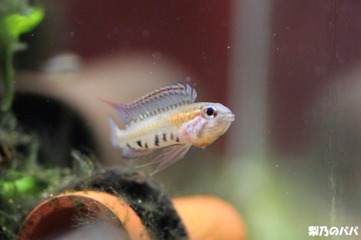 A.プサモピラ♂-3