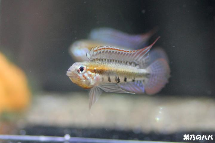 A.プサモピラ♂-7