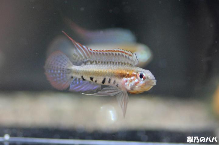 A.プサモピラ♂-8