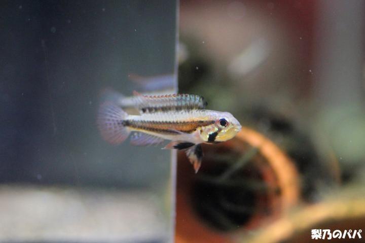 A.プサモピラ♀-2