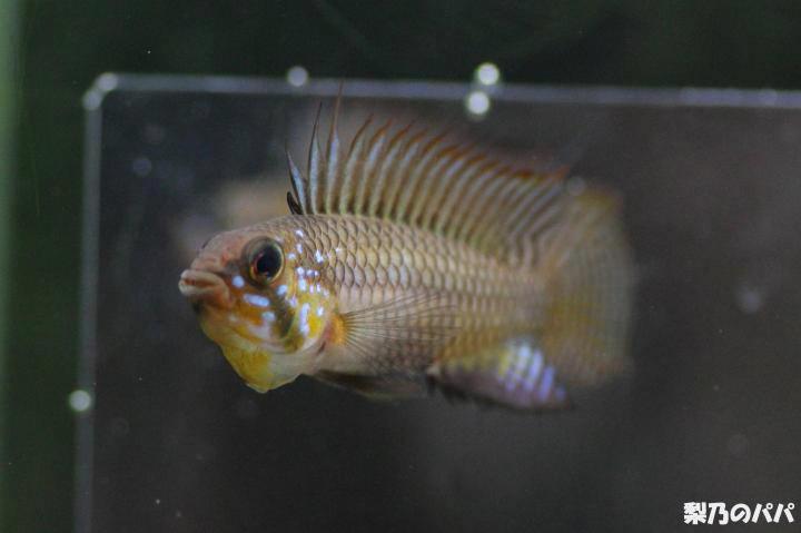 A.メガプテラ♂22