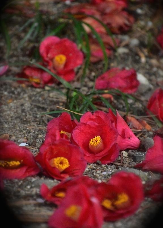 桜舞い散り、椿落つ