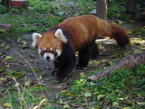 九十九島動植物園 森きらら レン君 レッサーパンダ