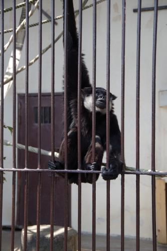♂のアジルテナガザルの「イトウ」君 九十九島動植物園 森きらら