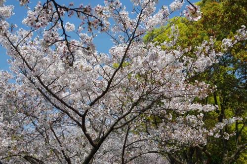 近所の公園で花見