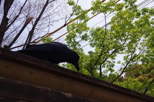 福岡市動物園のカラス きーちゃん