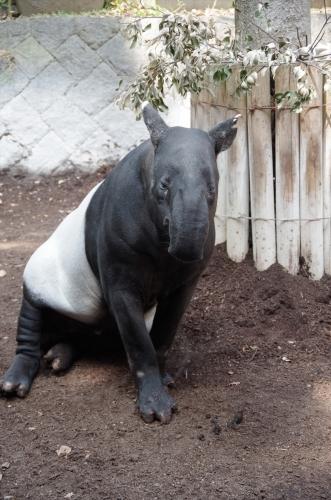 福岡市動物園のマレーバク ジュリ君 日本最高齢
