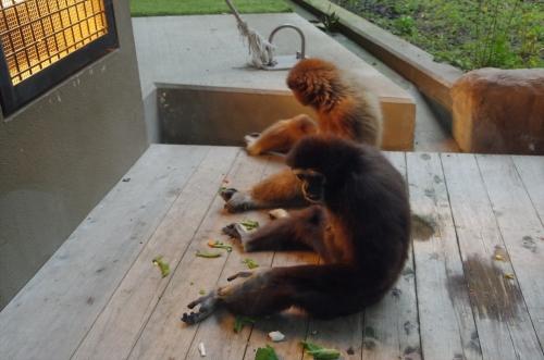 福岡市動物園 シロテテナガザル アイ キナコ