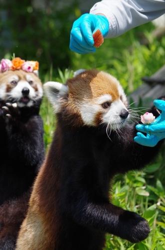福岡市動物園のレッサーパンダ♀マリモちゃん ノゾム君♂ レッサーパンダ 福岡市動物園