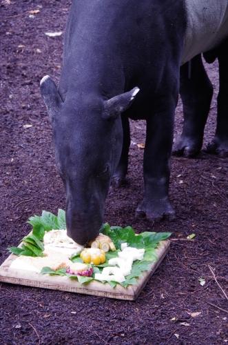 福岡市動物園 マレーバク ジュリ君 31歳 御誕生日