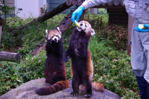 ノゾム君 レッサーパンダ 福岡市動物園 マリモちゃん