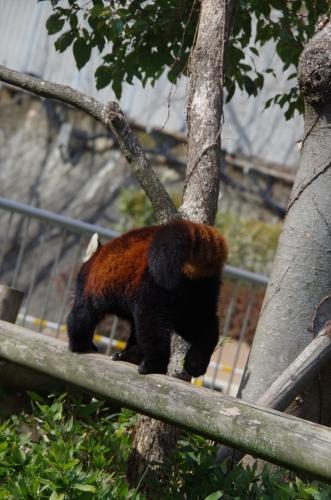 20190228 福岡市動物園のレッサーパンダ♀マリモちゃん