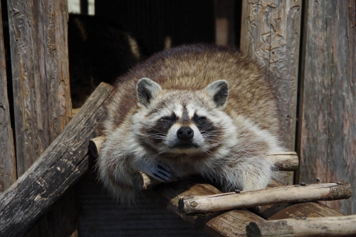 九十九島動植物園 森きらら アライグマ