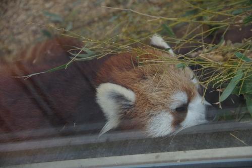 九十九島動植物園 森きらら みかんちゃん レッサーパンダ
