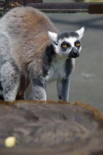 九十九島動植物園 森きらら ワオキツネザル
