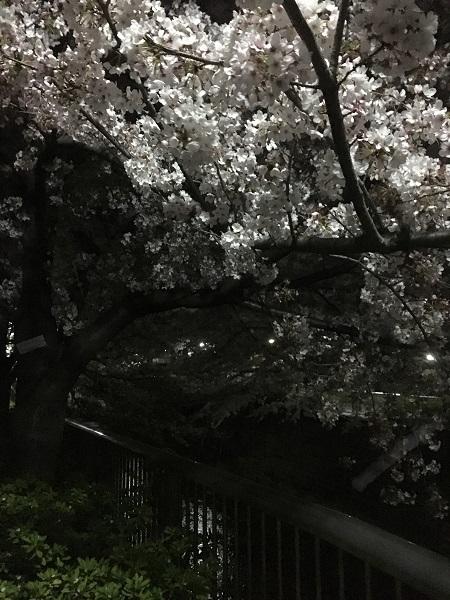 19,04夜桜