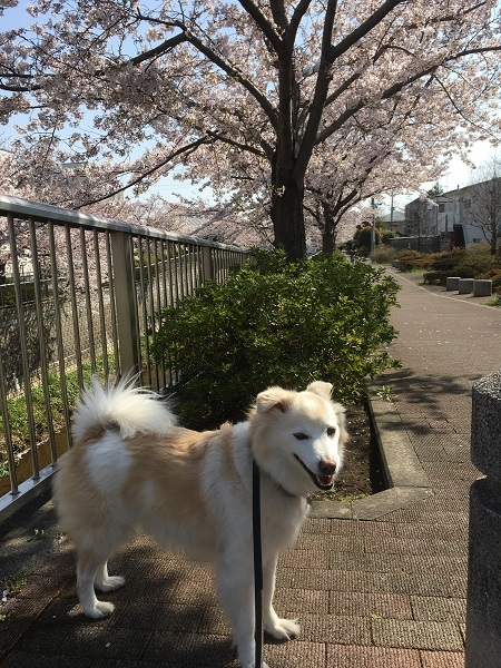 19,04桜とアロー
