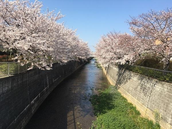 19,04桜満開