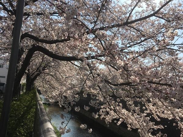 19,04桜満開2