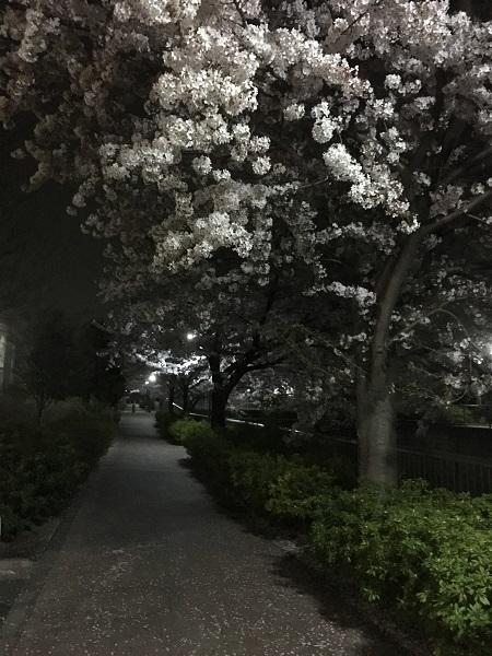 19,04夜桜2