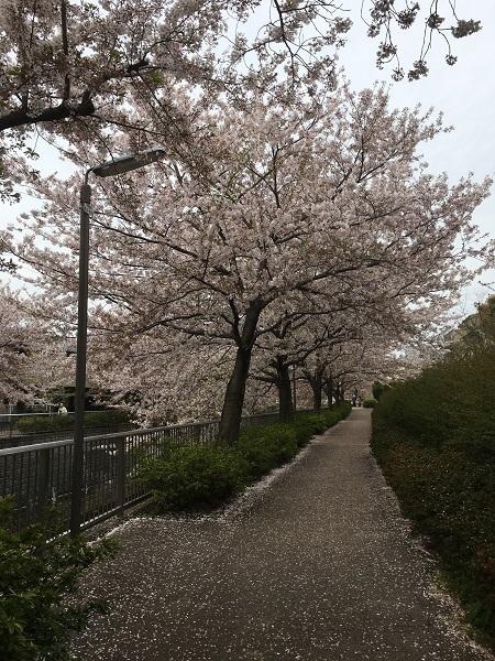 19,04葉桜