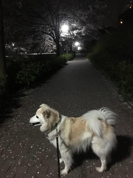 19,04夜桜アロー