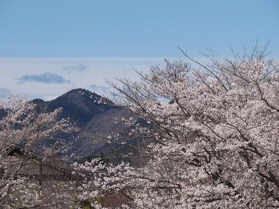 miyasakura2.jpg