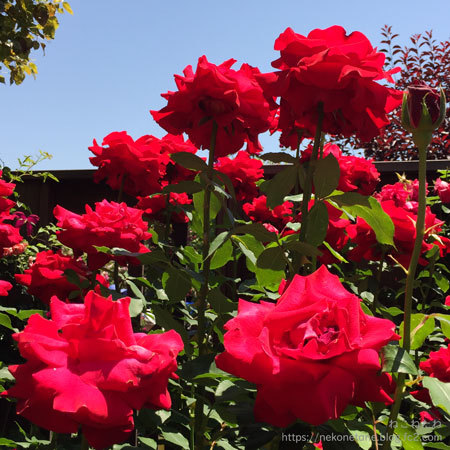 赤いバラ写真