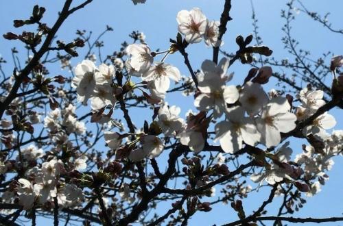 2019-04-04桜