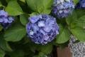 紫陽花0611